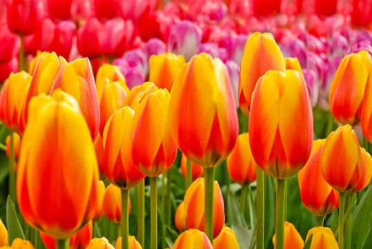 parfum laundry Yogyakarta aroma bunga tulip